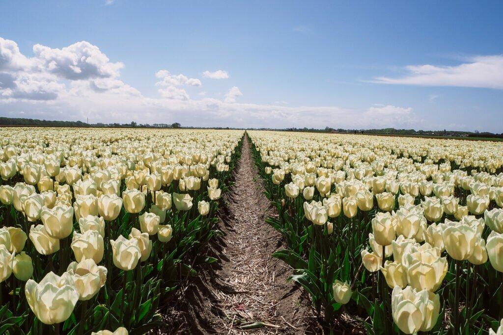 Tulip fields 03