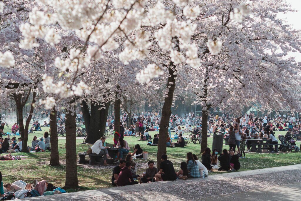 Cherry Blossom 02