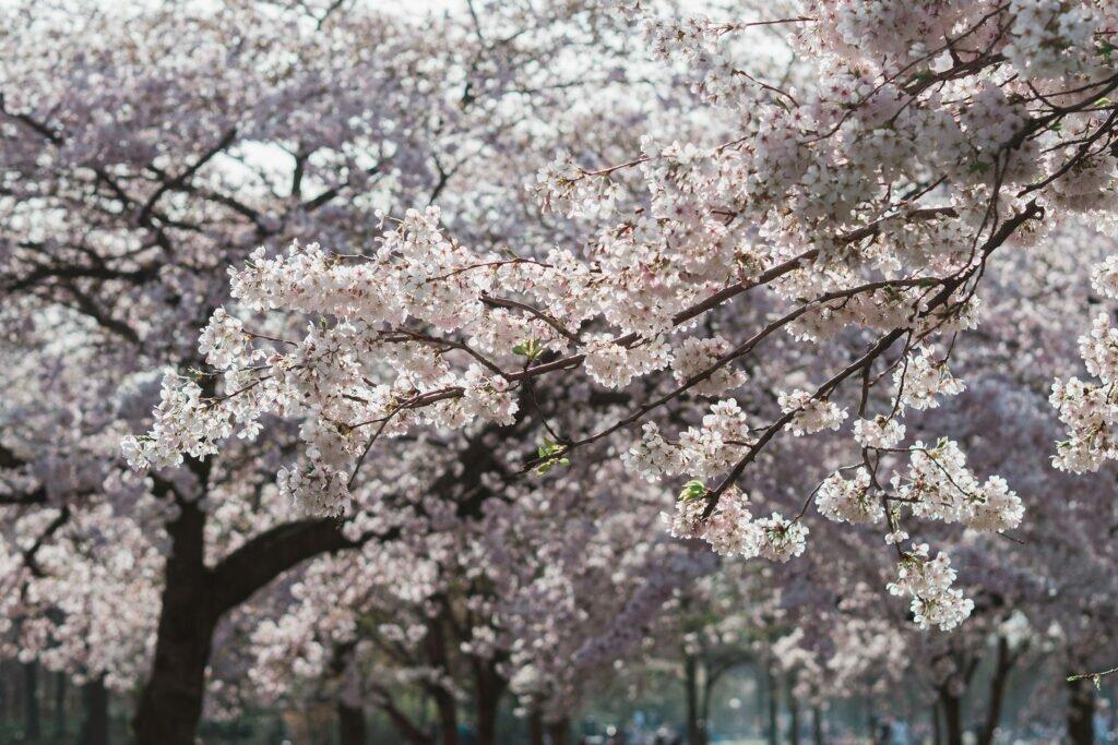 Cherry Blossom 06
