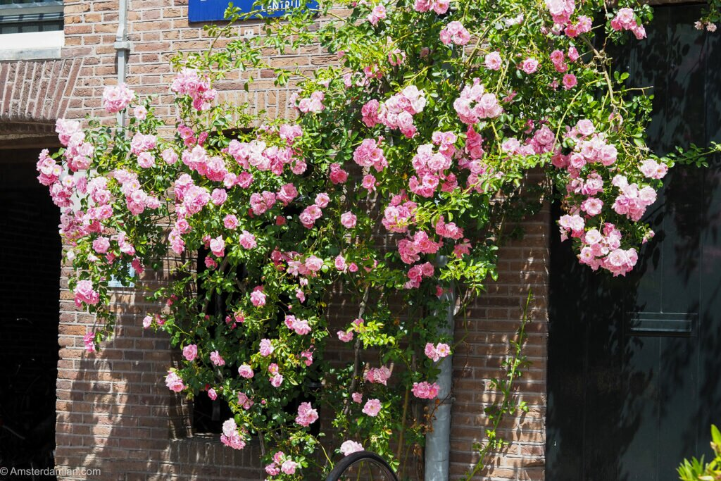 Roses in Amsterdam 01