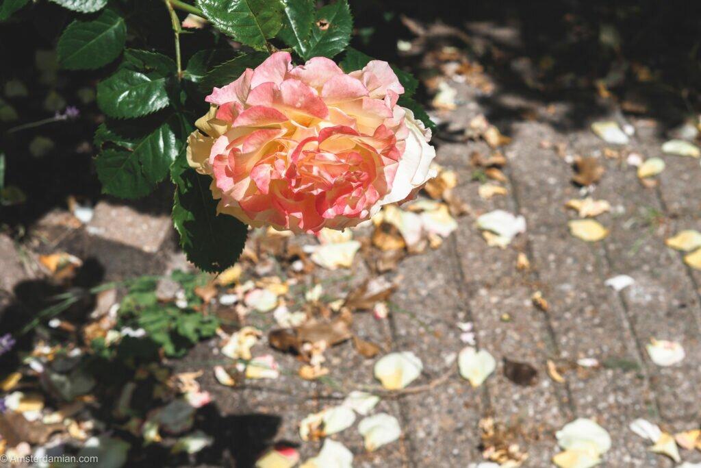 Roses in Amsterdam 03
