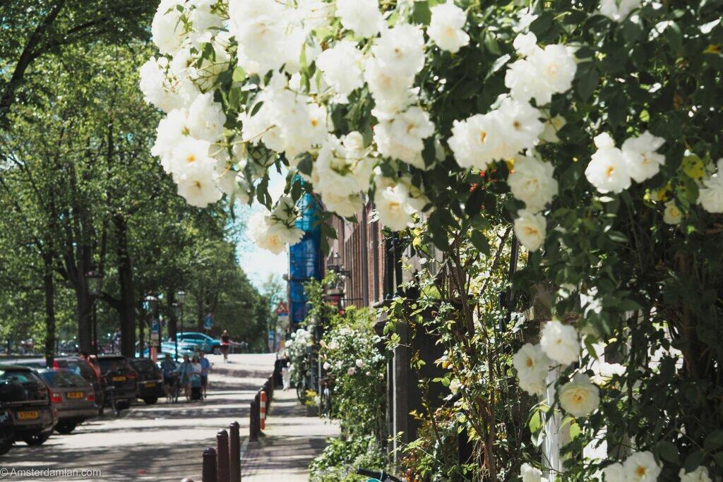 Roses in Amsterdam 15