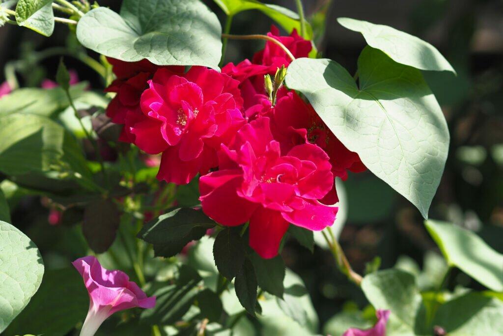 Roses in the morning light 02