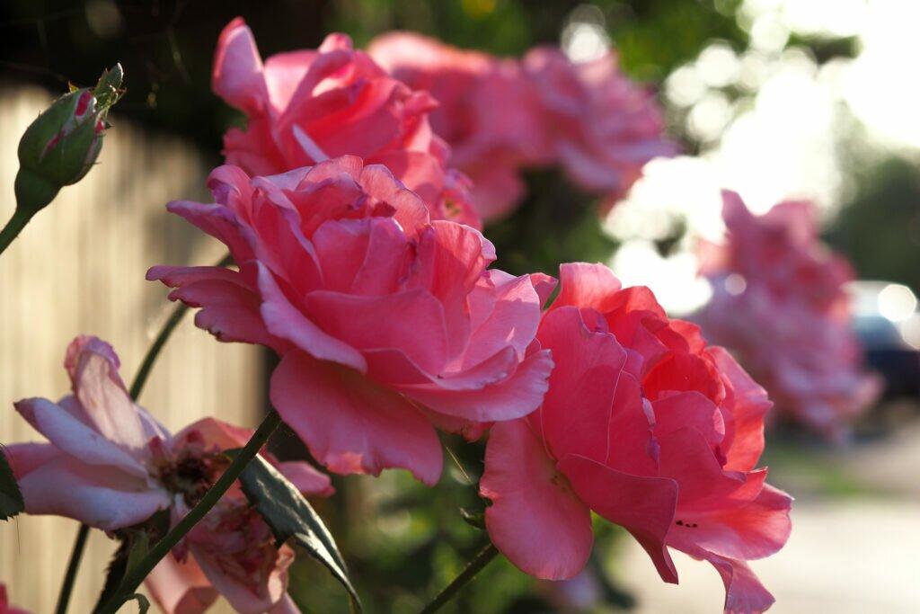 Roses in the morning light 03