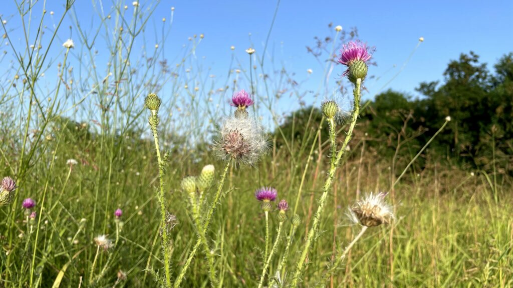 Wild flowers Romania