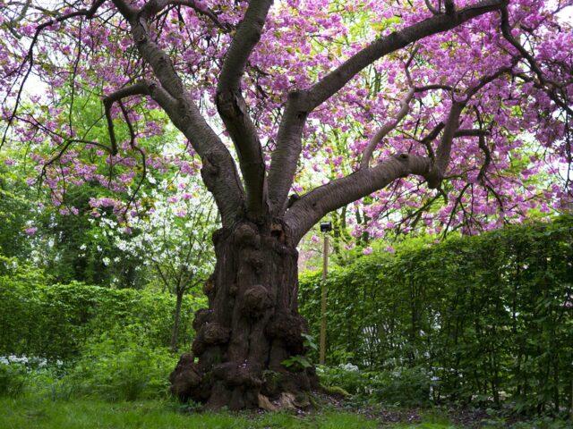 My favourite cherry tree