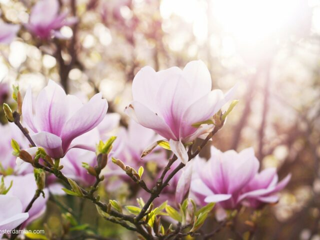 Magnolia Portraits