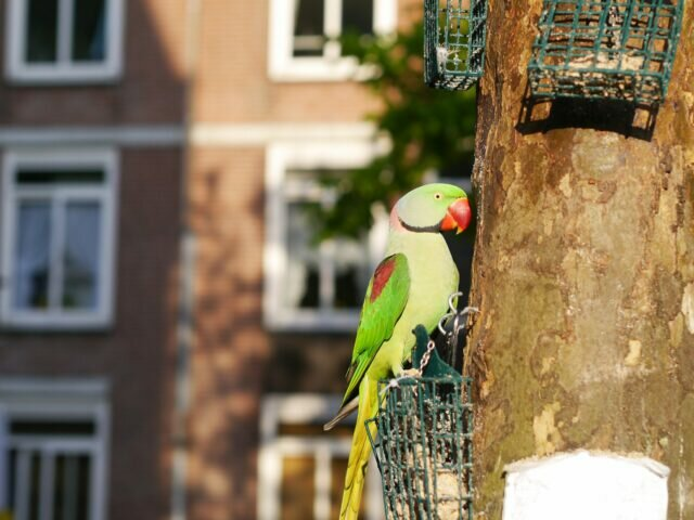 The green birds of Amsterdam