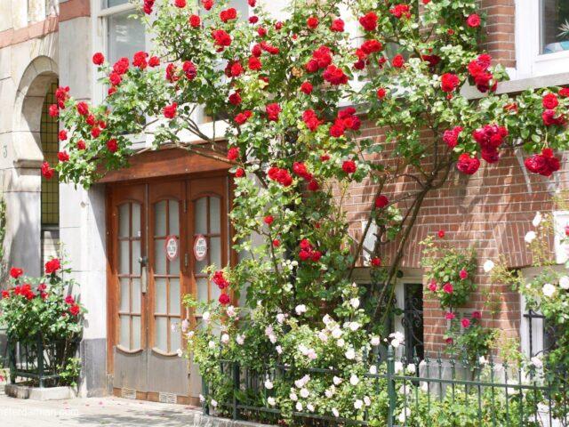 Rose hunting in Oud-Zuid