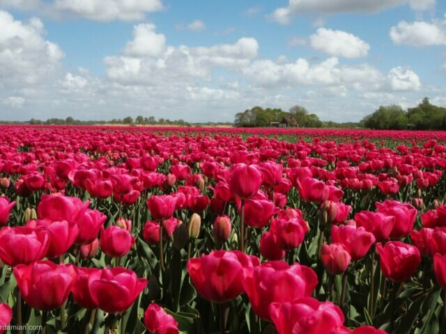 Cycling through the tulip fields