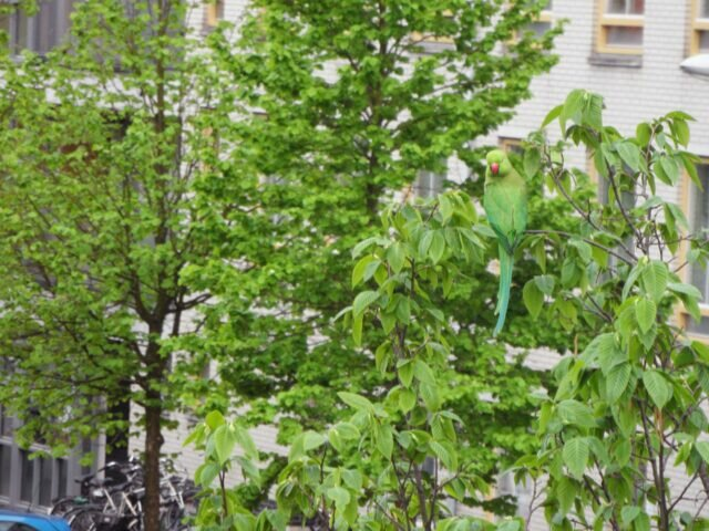 Green parakeets spotted again