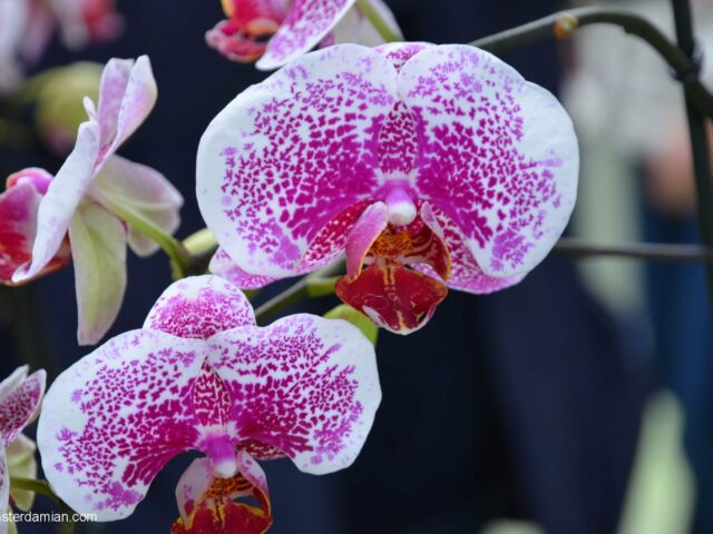 Visiting Keukenhof — part 4, the orchids