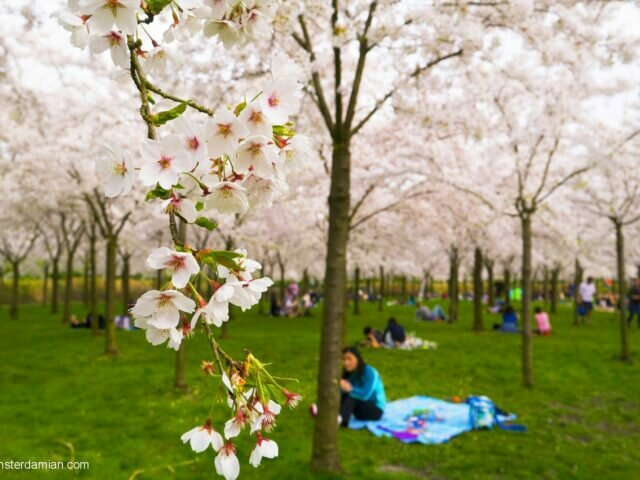 Cherry blossoms in Amsterdamse Bos