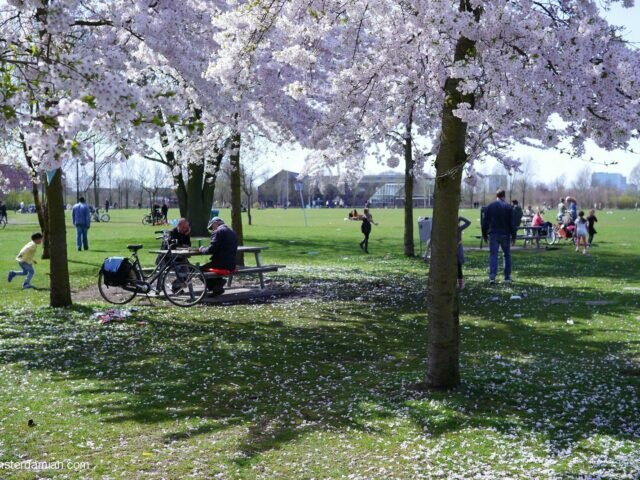 Cherry blossom in Westerpark