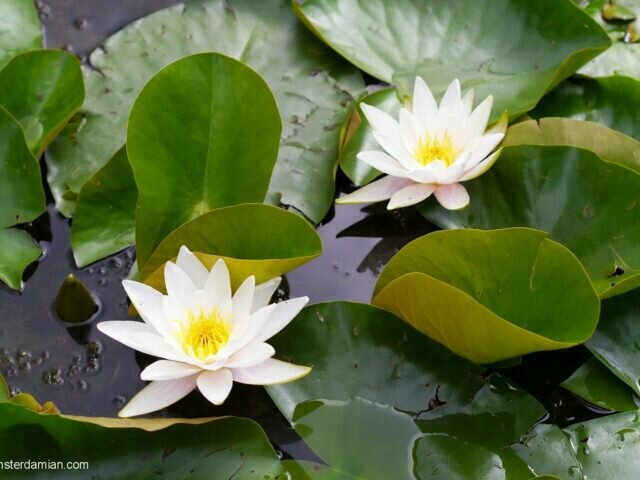 Unexpected beauty: water lilies in Westerpark