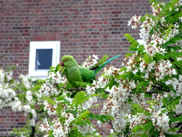 Wild parakeets living in Amsterdam